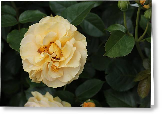 New Jersey Greeting Cards - Julia Child rose with buds Greeting Card by Joe Valencia