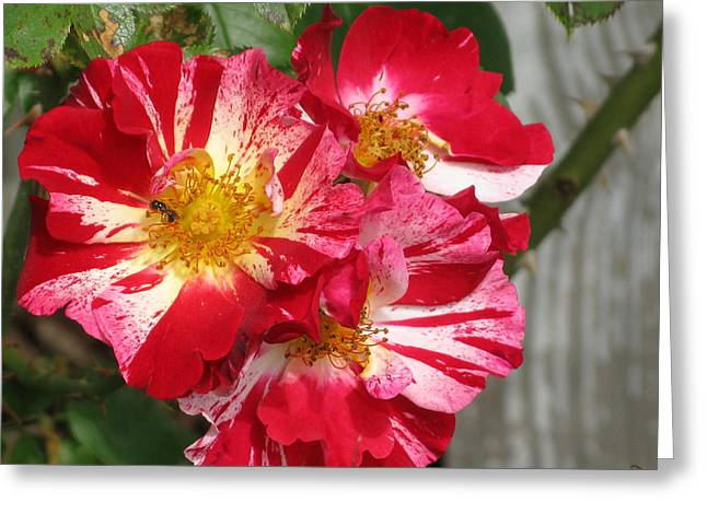 4th July Greeting Cards - July 4th Rose Greeting Card by M E Cieplinski