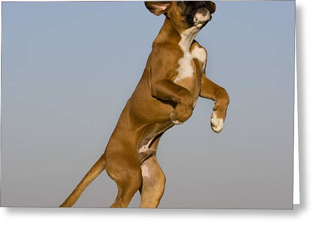 Jumping Boxer Puppy Greeting Card by Jean-Louis Klein & Marie-Luce Hubert