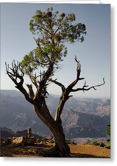 Juniper Tree At Grand Canyon II Greeting Card by David Gordon