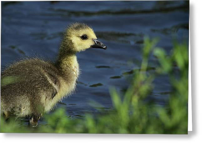 Geese Greeting Cards - Just a Babe Greeting Card by Karol  Livote