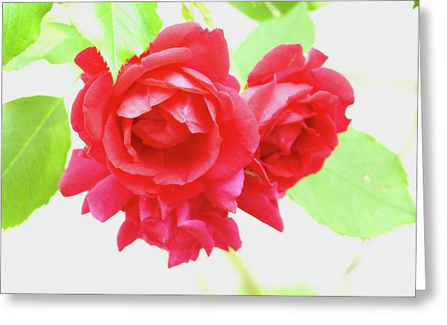 Rose Highlights Greeting Cards - Just a Rose Greeting Card by Jeffrey Peterson