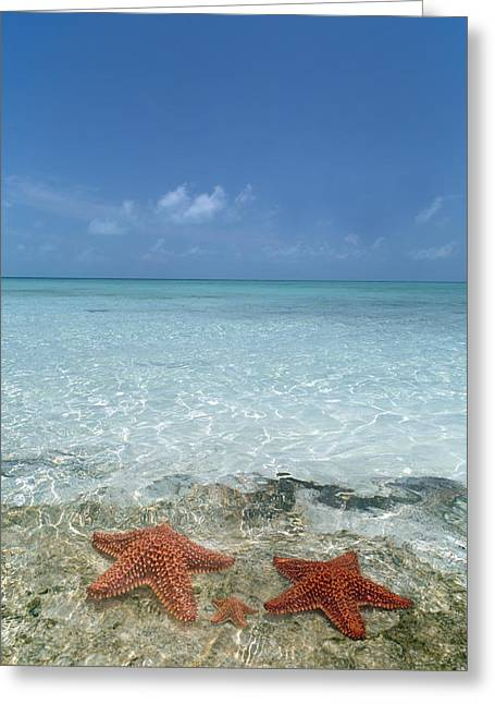 Star Fish Greeting Cards - Just Between Us Greeting Card by Betsy C  Knapp