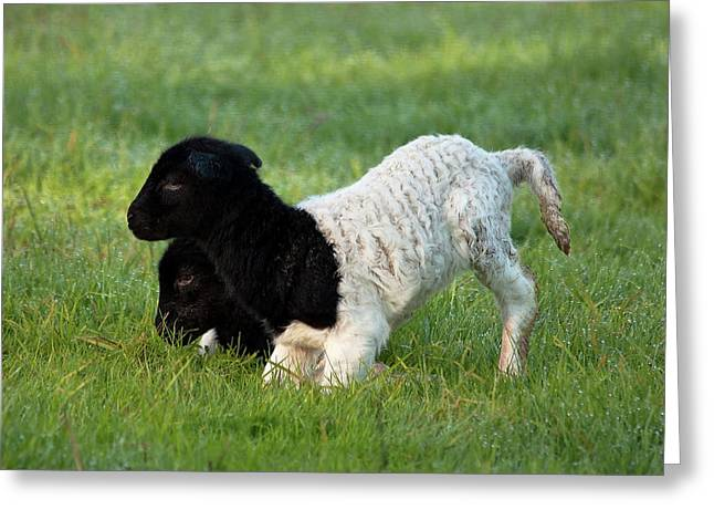 Sheep Digital Art Greeting Cards - Just Born Greeting Card by Heather Thorning