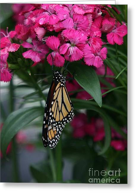 Kansas City Monarchs Greeting Cards - Just Hangin Out Greeting Card by Crystal Nederman