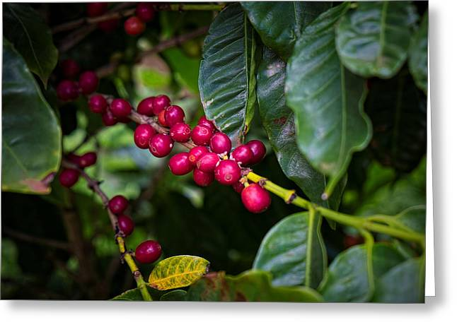 Mountain Valley Greeting Cards - Just Kaui Coffee  Greeting Card by Lucinda Walter