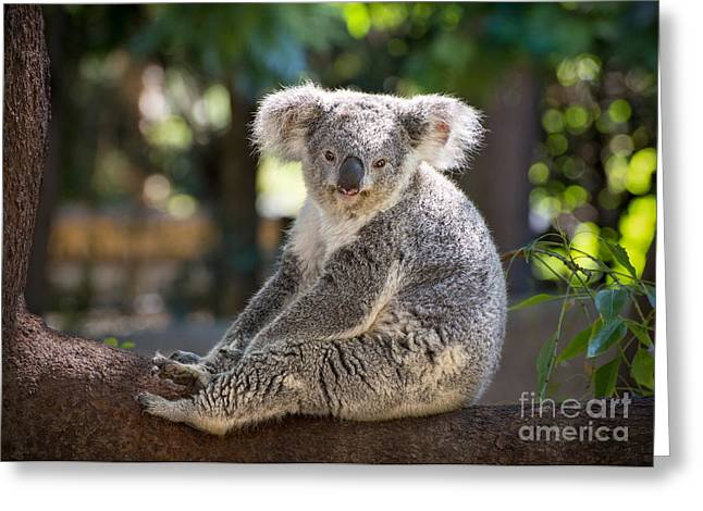 Koala Photographs Greeting Cards - Just Relax Greeting Card by Jamie Pham