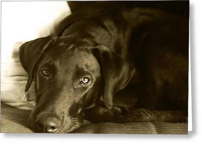 Chocolate Lab Greeting Cards - Just Taking a Break Greeting Card by Roger Wedegis