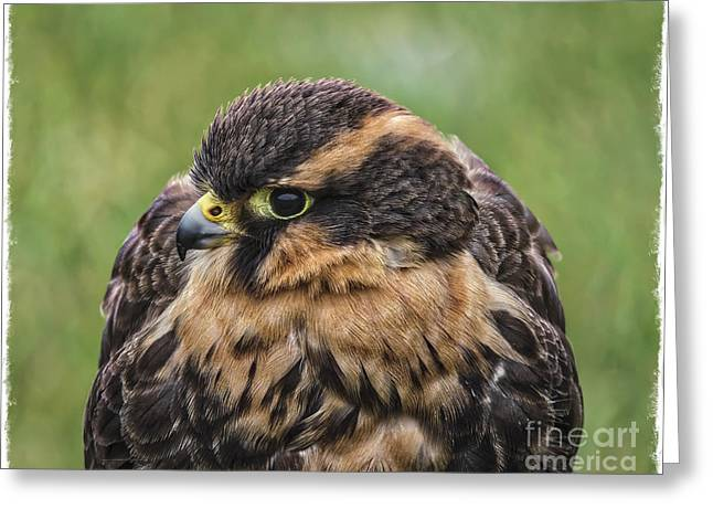 Hunting Bird Greeting Cards - Juvenile Aplomado Falcon Greeting Card by Mitch Shindelbower