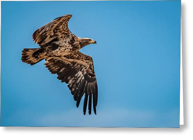 Flying Animal Greeting Cards - Juvenile Bald Eagle in Flight Greeting Card by Gordon Pusnik