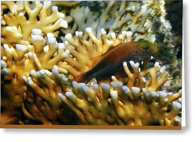 Decorative Fish Greeting Cards - Juvenile Blackside Hawkfish closeup Greeting Card by Johanna Hurmerinta