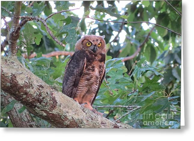 The Tiger Greeting Cards - Juvenile Great Horned Owl Greeting Card by Charles Green
