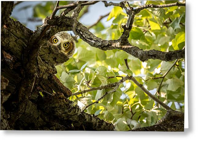 Juvenile Great Horned Owl // Whitefish, Montana  Greeting Card by Nicholas Parker
