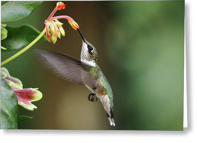 Juvenile Male Ruby Throat Greeting Card by Debbie Oppermann