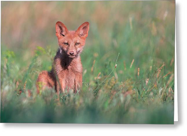 Puppies Photographs Greeting Cards - Juvenile Red Fox Greeting Card by Sergey Ryzhkov