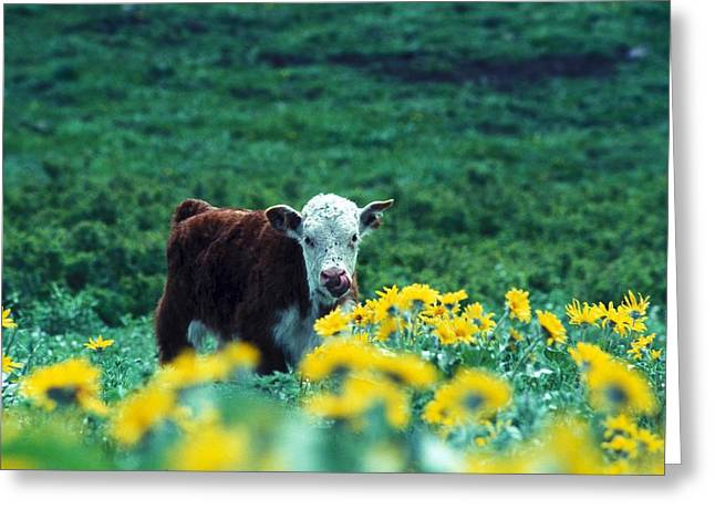 Juvenile White-faced Hereford Greeting Card by Paul Nicklen