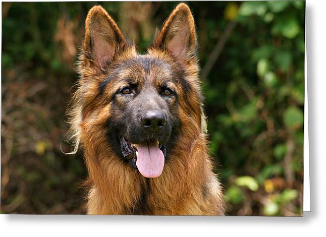 Gsd Greeting Cards - Kaiser - German Shepherd Greeting Card by Sandy Keeton