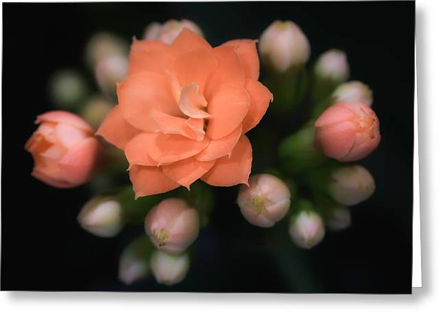 James Barber Greeting Cards - Kalanchoe Greeting Card by James Barber