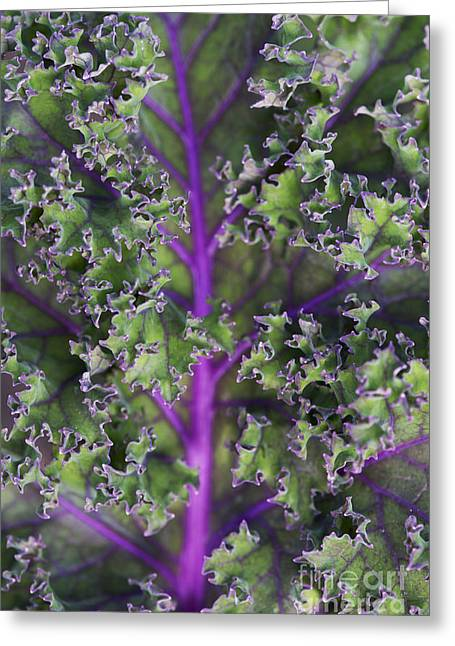 Home Grown Greeting Cards - Kale Redbor Leaf Greeting Card by Tim Gainey