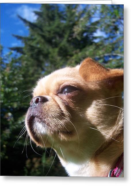 Karma The Pug Chihuahua Greeting Card by Ken Day