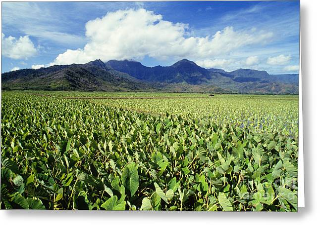 Kauai, Wet Taro Farm Greeting Card by Bob Abraham - Printscapes