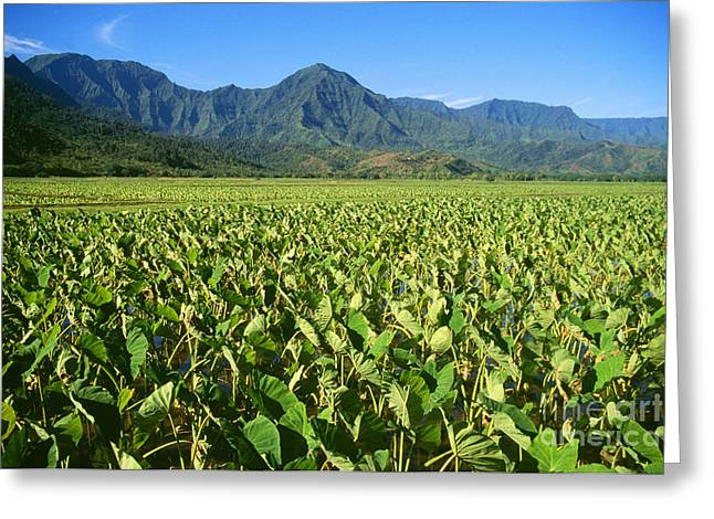 Kauai, Wet Taro Farm Greeting Card by Himani - Printscapes