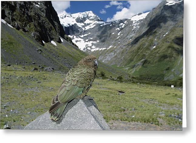 New Individuals Greeting Cards - Kea Nestor Notabilis Perching On Rock Greeting Card by Konrad Wothe