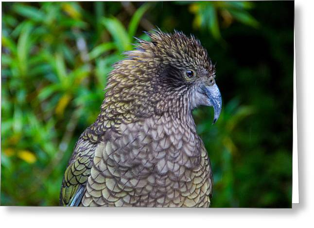 Parrot Pyrography Greeting Cards - Kea Greeting Card by Peteris Vaivars