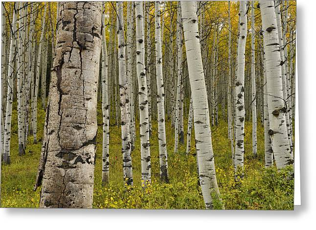 Mountain Road Greeting Cards - Kebler Pass Fall Aspens Greeting Card by Dean Hueber