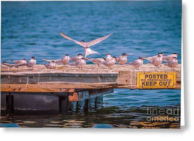 Tern Greeting Cards - Keep out Greeting Card by Claudia Mottram