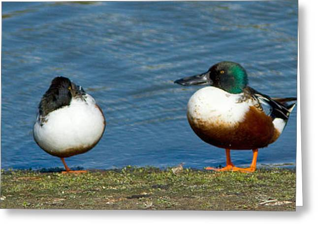 Water Fowl Greeting Cards - Keep your head up when others won Greeting Card by Carl Jackson