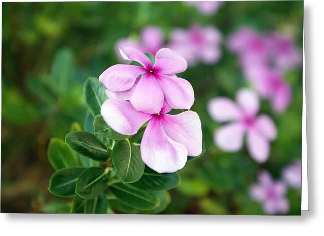 Kemuning Flowers Greeting Card by Ali Mohamad