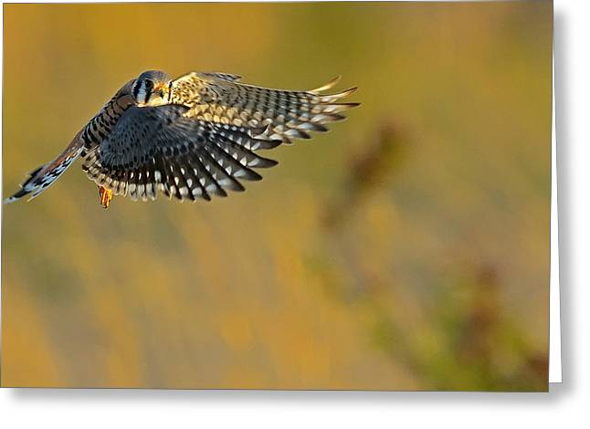 Kestrel Takes Flight Greeting Card by William Jobes