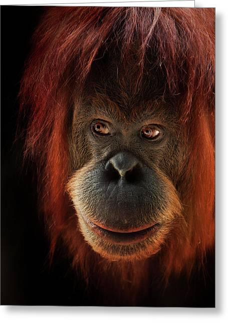 Orangutans Greeting Cards - Kiani Greeting Card by Animus Photography