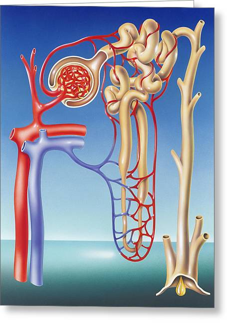 Excretory System Greeting Cards - Kidney Filtration System Greeting Card by John Bavosi