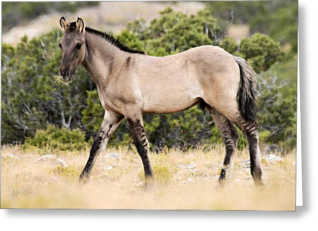 Wild Horses Greeting Cards - Kiger Colt Greeting Card by Larry Ricker