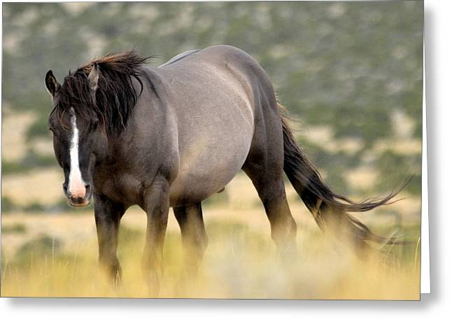 Pryor Greeting Cards - Kiger Stallion Greeting Card by Larry Ricker