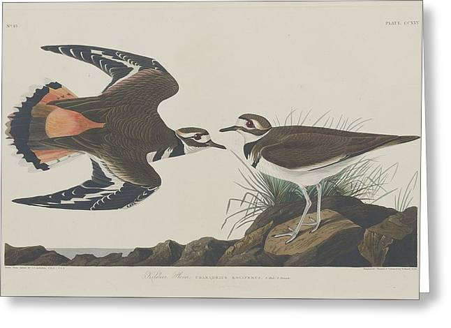 Shorebird Greeting Cards - Kildeer Plover Greeting Card by John James Audubon