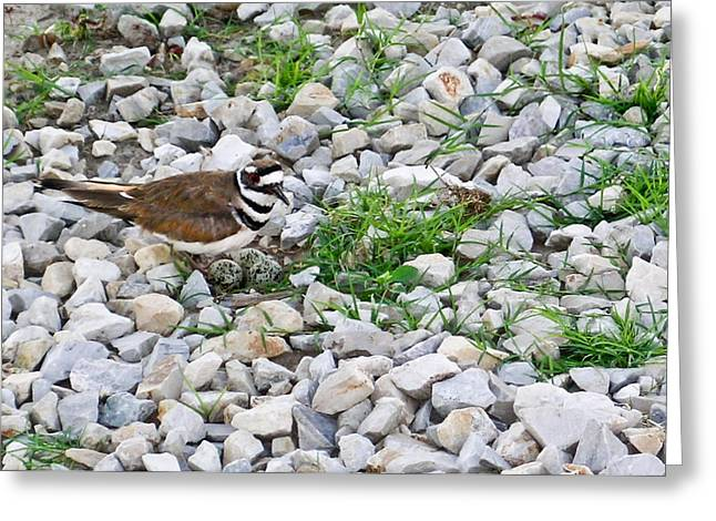 Killdeer 1 Greeting Card by Douglas Barnett