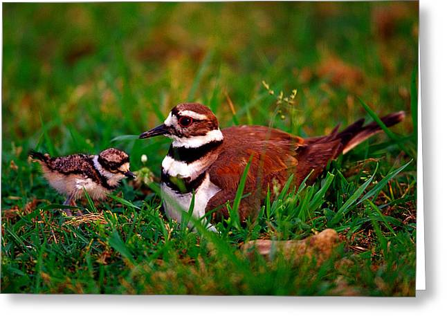 Killdeer And Young Greeting Card by Denny Bingaman