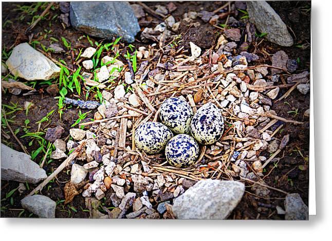 Killdeer Nest Greeting Card by Cricket Hackmann