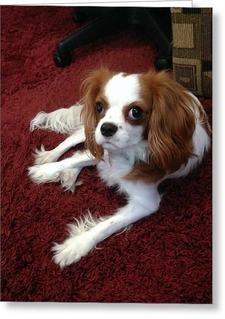 Puppies Photographs Greeting Cards - King Charles Cavalier Greeting Card by Marlene Burns