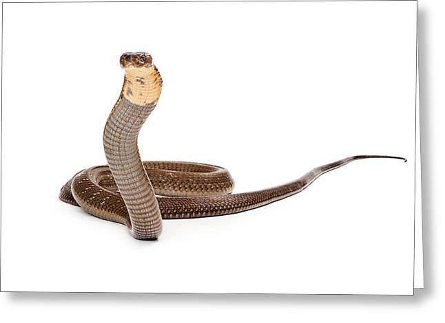 Lethal Greeting Cards - King Cobra Snake Looking Into Camera Greeting Card by Susan  Schmitz