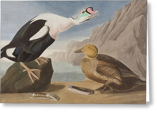 Ocean Habitat Greeting Cards - King Duck Greeting Card by John James Audubon