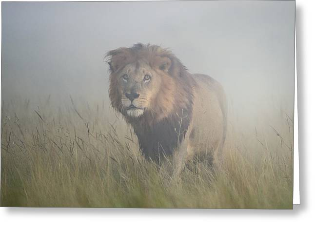 Lions Photographs Greeting Cards - King In The Mist Greeting Card by Frits Hoogendijk