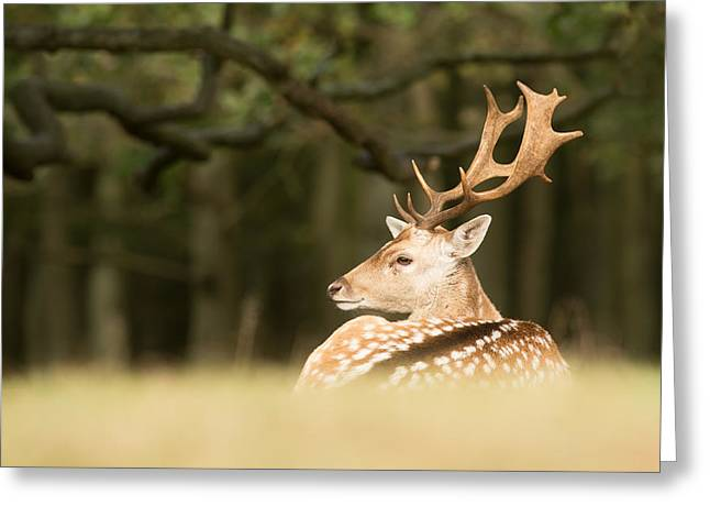 King Of The Forest _ Fallow Deer Buck Greeting Card by Roeselien Raimond