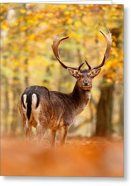 King Of The Forest II _ Fallow Deer Buck Greeting Card by Roeselien Raimond