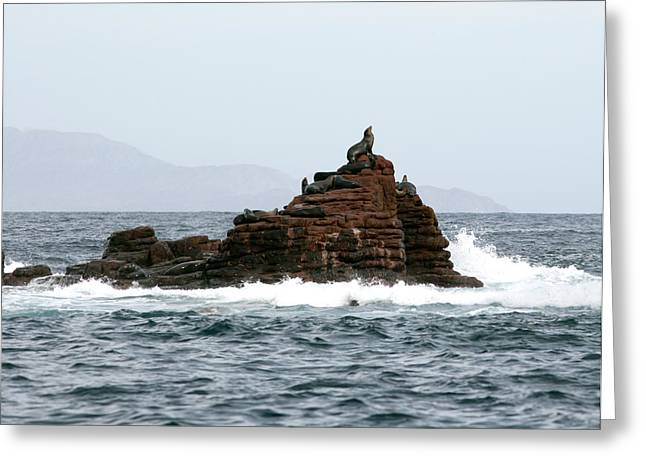 Best Sellers -  - California Sea Lions Greeting Cards - King of the Hill Greeting Card by Richard Steinberger