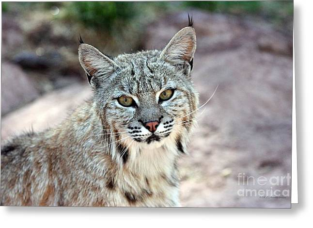 Bobcats Greeting Cards - Look Into My Eyes Greeting Card by Robert Smitherman