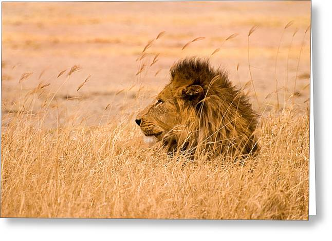 Animal Art Greeting Cards - King of The Pride Greeting Card by Adam Romanowicz
